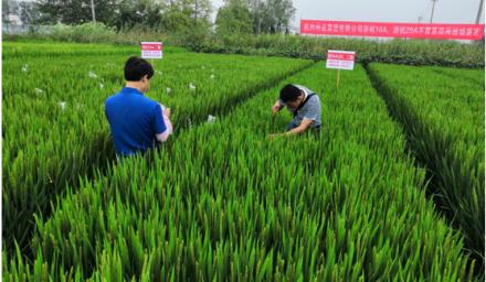 杭州种业集团自创3个粳稻不育系通过品审委现场鉴定