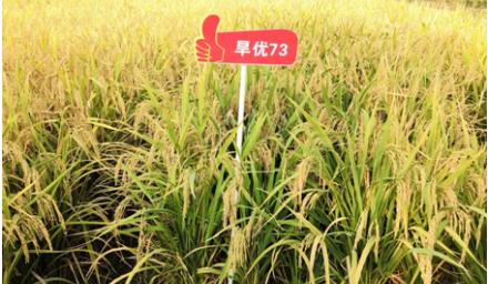 节水抗旱的优质稻新品种'旱优73'